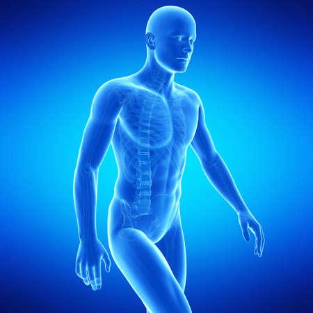 medische illustratie van het bovenlichaam anatomie