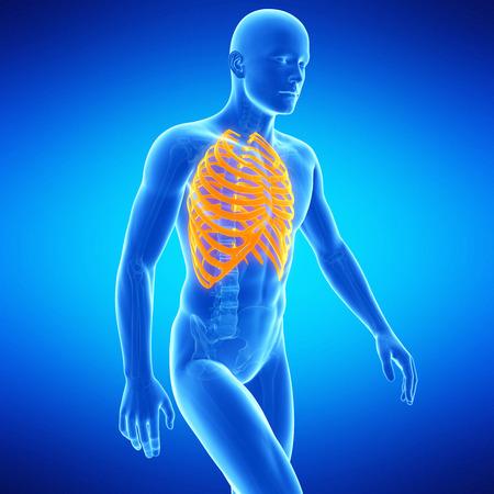 huesos humanos: ilustración médica de la caja torácica
