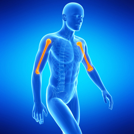 upper arm: medical illustration of the upper arm bones