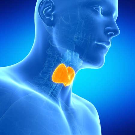 medical illustration of the thyroid gland Stock Photo