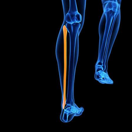 fibula: medical 3d illustration of the fibula bone Stock Photo