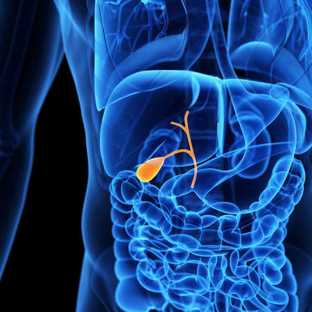 physiology: medical illustration of the gallbladder