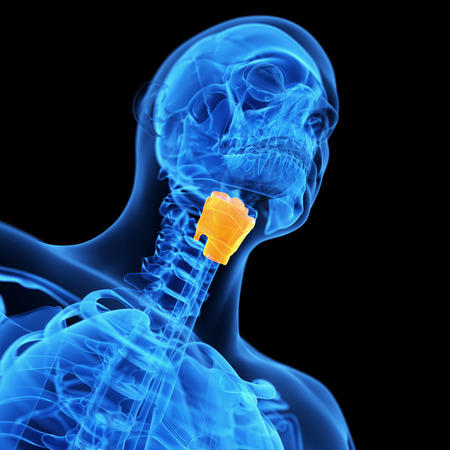 larynx: medical illustration of the larynx
