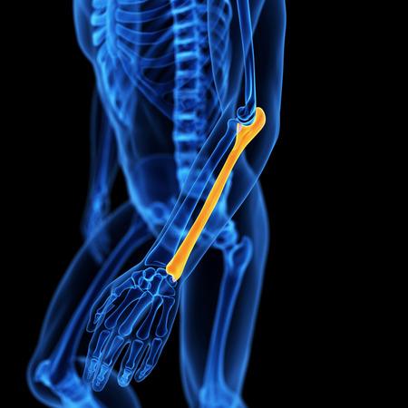ulna: medical illustration of the ulna bone
