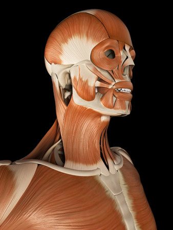 muscular system: medical illustration of the male muscular system