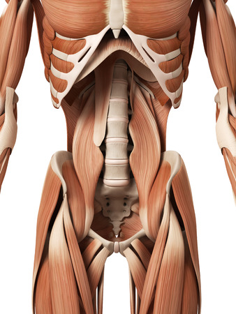 muscle anatomy: medical 3d illustration of the abdominal muscles