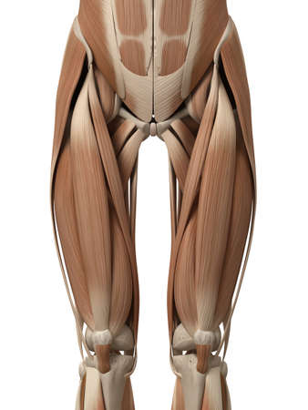 upper: medical 3d illustration of leg muscles