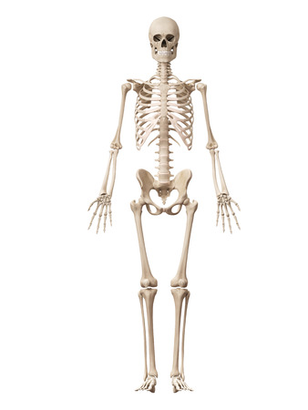 human bones: medical 3d illustration of the male skeleton
