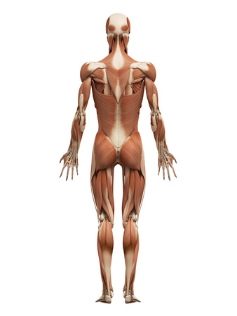 anatomy art: medical 3d illustration of the male muscular system Stock Photo