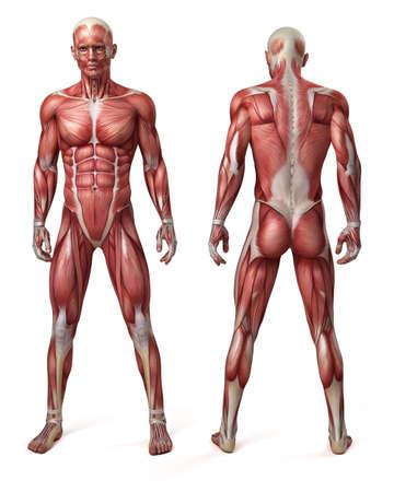 anatomie humaine: 3d illustration médicale du système musculaire mâle