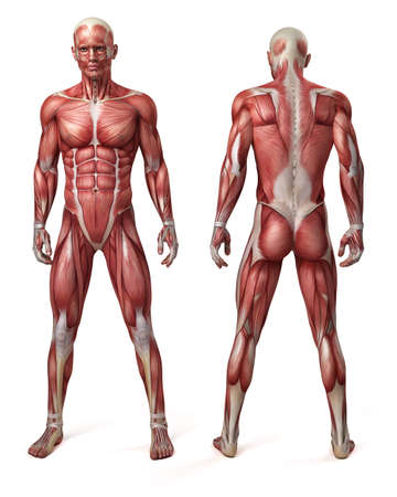 muscular men: medical 3d illustration of the male muscular system Stock Photo