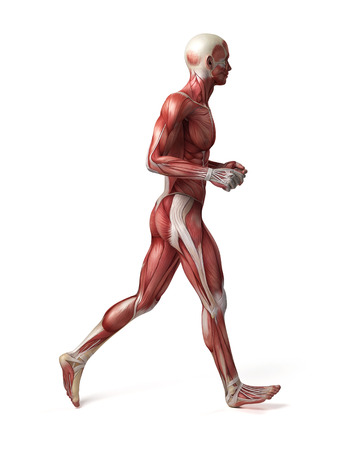 medical 3d illustration of the male muscular system illustration