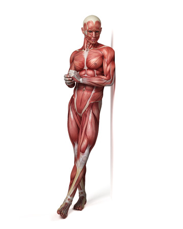 physiology: medical 3d illustration of the male muscular system Stock Photo
