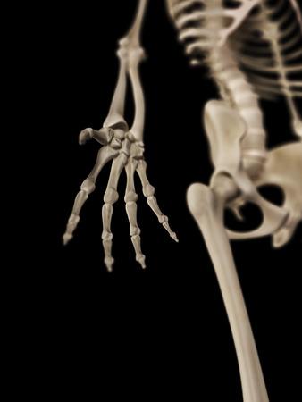 phalanx: medical 3d illustration of the hand bones Stock Photo