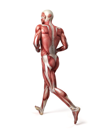 medical 3d illustration of the male muscular system illustration