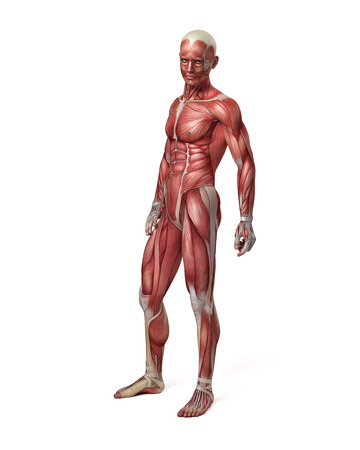 3d art: medical 3d illustration of the male muscular system Stock Photo