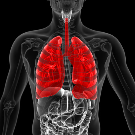 airways: medical 3d illustration of the lung