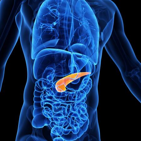 anatomy: medical illustration of the pancreas