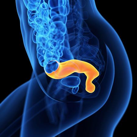 rectum: medical 3d illustration of the rectum Stock Photo