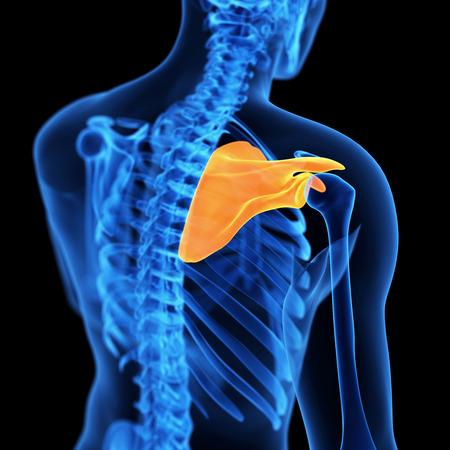 scapula: medical 3d illustration of the scapula