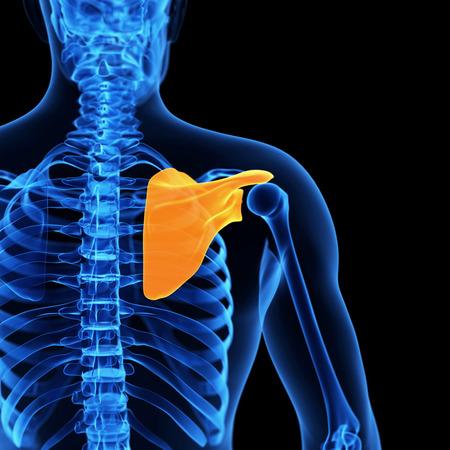 shoulder anatomy: medical illustration of the shoulder blade