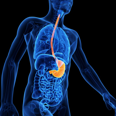 gullet: medical illustration of the stomach Stock Photo