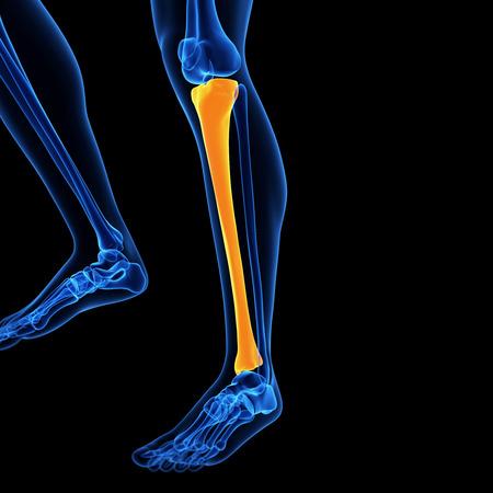 tibia: medical illustration of the tibia bone