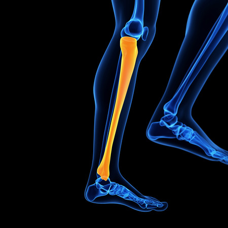 tibia: medical 3d illustration of the tibia bone