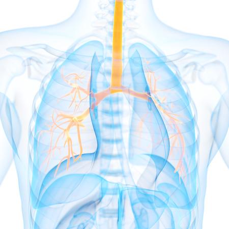 bronchi: medical 3d illustration of the bronchi