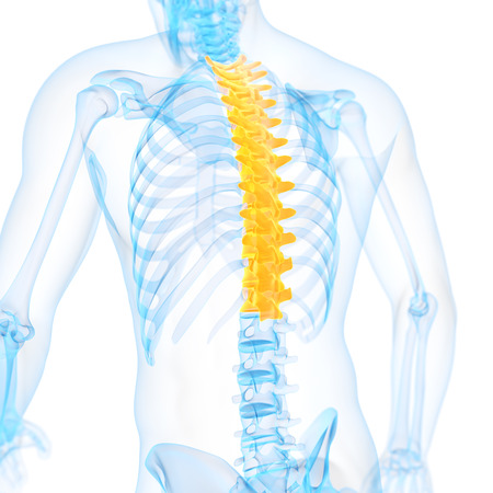 thoracic: medical 3d illustration of the thoracic spine