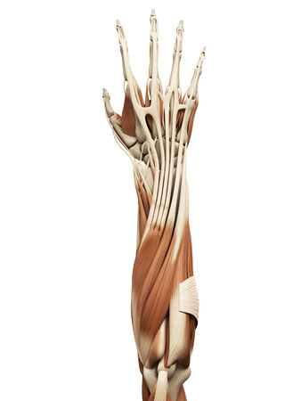 muscle: anatom�a muscular - los m�sculos del brazo Foto de archivo
