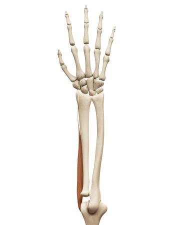 extensor: muscle anatomy - the extensor carpi radialis longus Stock Photo