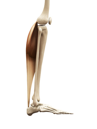 gastrocnemius: muscle anatomy - the gastrocnemius Stock Photo
