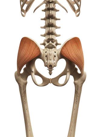 human muscle: muscle anatomy - the gluteus medius Stock Photo