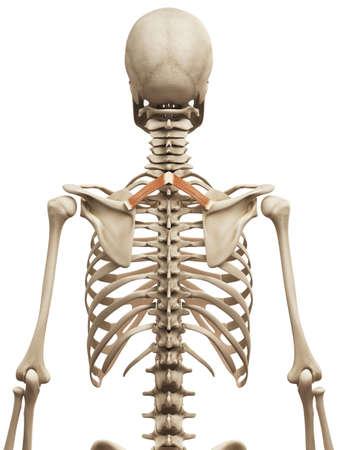 minor: muscle anatomy - the rhomboid minor
