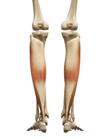 soleus: muscle anatomy - the soleus