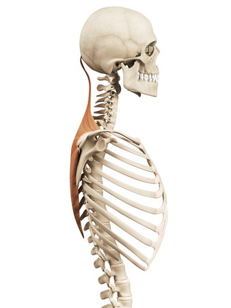 trapezius: muscle anatomy - the trapezius Stock Photo