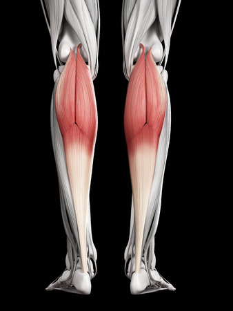 gastrocnemius: human muscle anatomy - gastrocnemius