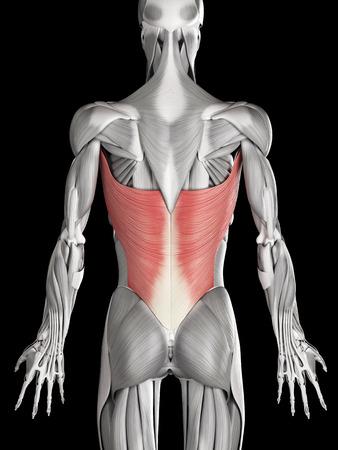 latissimus: anatomia muscolo umano - dorsale Archivio Fotografico