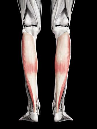 soleus: human muscle anatomy - soleus