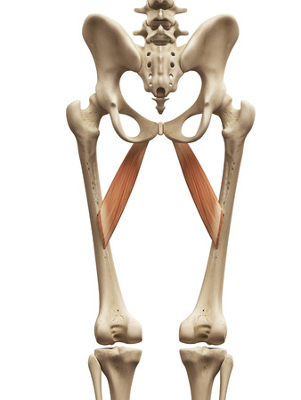 abductor: muscle anatomy - the abductor brevis