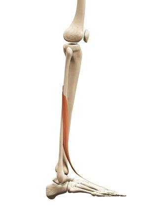 extensor: muscle anatomy - the extensor hallucis longus Stock Photo