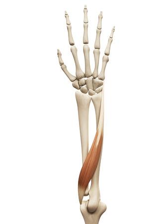 extensor: muscle anatomy - the extensor carpi ulnaris Stock Photo