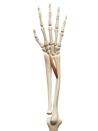 extensor: muscle anatomy - the extensor indicis