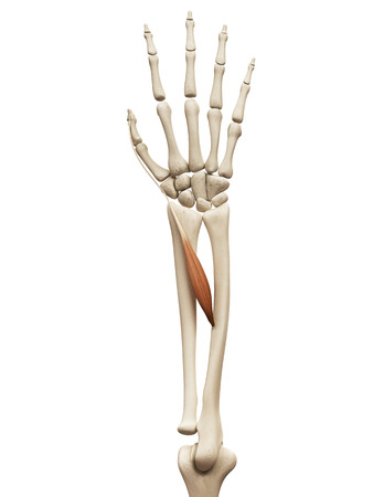 extensor: muscle anatomy - the extensor policis longus