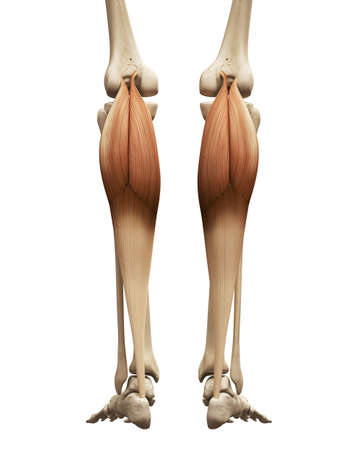 legs: muscle anatomy - the gastrocnemius Stock Photo