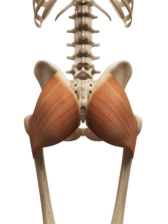 muscle: muscle anatomy - the gluteus maximus