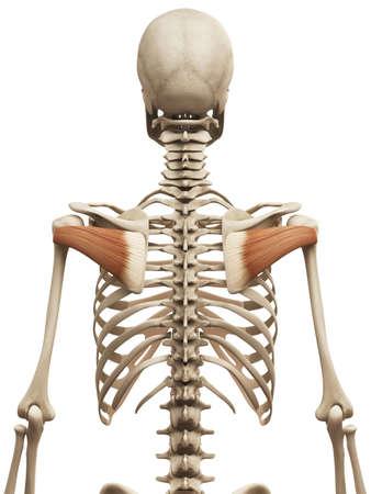 infraspinatus: muscle anatomy - the infraspinatus