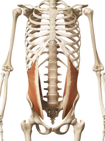 oblique: muscle anatomy - the internal oblique Stock Photo