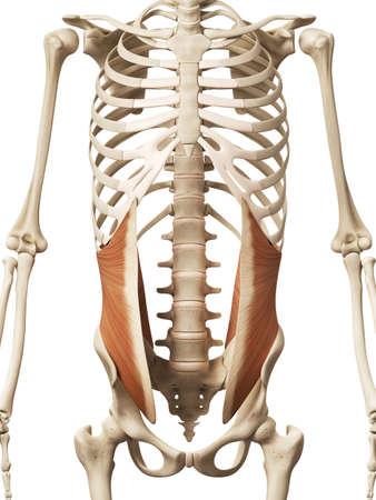 oblique: muscle anatomy - the internal oblique Stock Photo